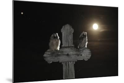 Long Eared Owl (Asio Otus) Chicks Perched on a Cross-Bence Mate-Mounted Photographic Print