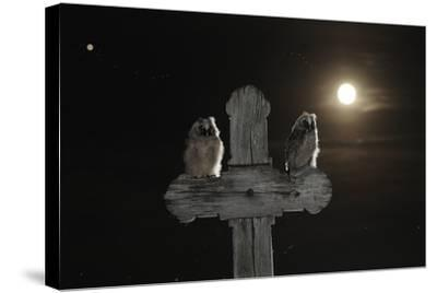 Long Eared Owl (Asio Otus) Chicks Perched on a Cross-Bence Mate-Stretched Canvas Print