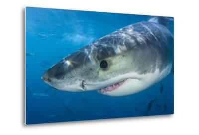 Great White Shark (Carcharodon Carcharias) Portrait, Guadalupe Island, Mexico. Pacific Ocean-Alex Mustard-Metal Print