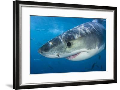 Great White Shark (Carcharodon Carcharias) Portrait, Guadalupe Island, Mexico. Pacific Ocean-Alex Mustard-Framed Photographic Print
