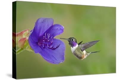 Purple-Throated Woodstar Hummingbird (Calliphlox Mitchellii) Flying to Garden Flower-Melvin Grey-Stretched Canvas Print
