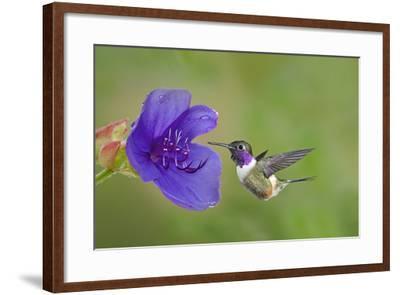 Purple-Throated Woodstar Hummingbird (Calliphlox Mitchellii) Flying to Garden Flower-Melvin Grey-Framed Photographic Print