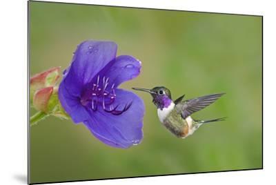 Purple-Throated Woodstar Hummingbird (Calliphlox Mitchellii) Flying to Garden Flower-Melvin Grey-Mounted Photographic Print