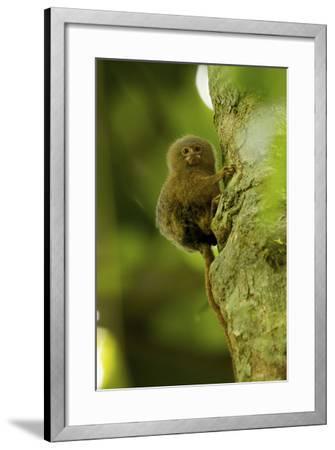 Pygmy Marmoset (Callithrix Pygmaea) Next to the Tiputini River-Tim Laman-Framed Photographic Print