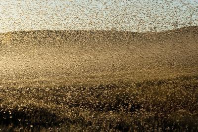 Locust Plague (Locusta Migratoria Capito) Threatens Crops in South Madagascar, June 2010-Inaki Relanzon-Premium Photographic Print