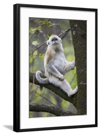Quinling Golden Snub Nosed Monkey (Rhinopitecus Roxellana Qinligensis), Infant Sitting in a Tree-Florian Möllers-Framed Photographic Print