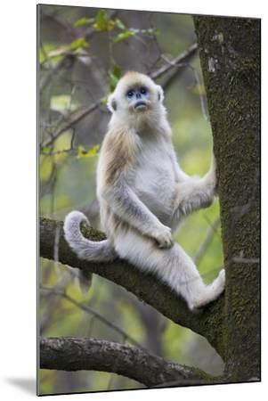 Quinling Golden Snub Nosed Monkey (Rhinopitecus Roxellana Qinligensis), Infant Sitting in a Tree-Florian Möllers-Mounted Photographic Print