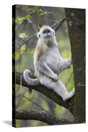 Quinling Golden Snub Nosed Monkey (Rhinopitecus Roxellana Qinligensis), Infant Sitting in a Tree-Florian Möllers-Stretched Canvas Print