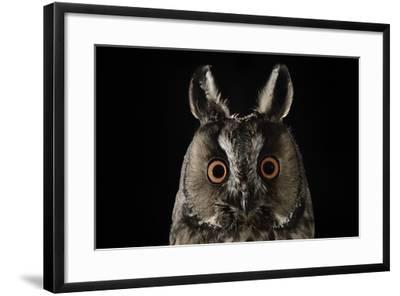 Long Eared Owl (Asio Otus) at Night, Perched on Oak Tree Snag-Solvin Zankl-Framed Photographic Print