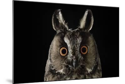 Long Eared Owl (Asio Otus) at Night, Perched on Oak Tree Snag-Solvin Zankl-Mounted Photographic Print