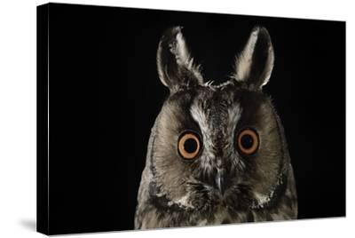 Long Eared Owl (Asio Otus) at Night, Perched on Oak Tree Snag-Solvin Zankl-Stretched Canvas Print