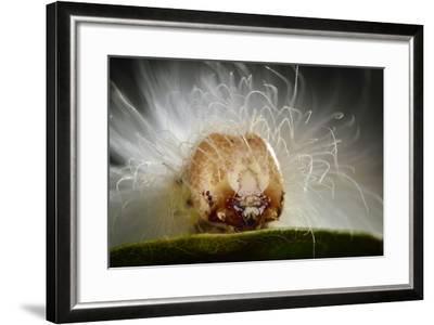 The Scarce Merveille Du Jour (Moma Alpium) Caterpillar with Urticating Hairs-Solvin Zankl-Framed Photographic Print