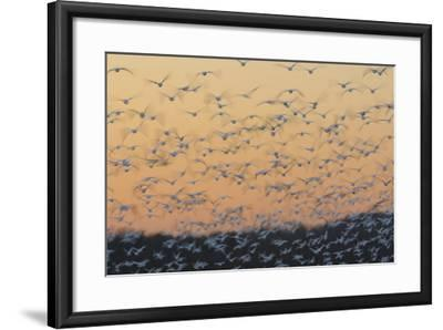 Greater Snow Geese (Chen Caerulescens) Taking Flight at Sunset During Migration-Gerrit Vyn-Framed Photographic Print
