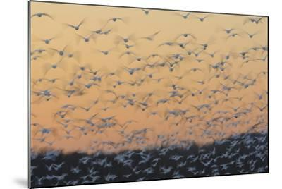 Greater Snow Geese (Chen Caerulescens) Taking Flight at Sunset During Migration-Gerrit Vyn-Mounted Photographic Print