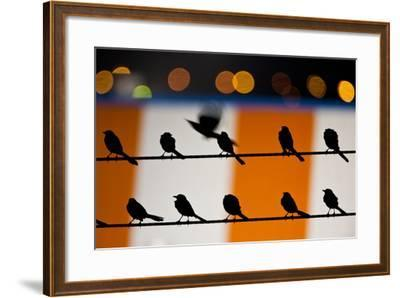 Great-Tailed Grackle - Quiscalus Mexicanusbrownsville-Sandesh Kadur-Framed Photographic Print