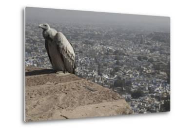 Long-Billed Vulture (Gyps Indicus)-Bernard Castelein-Metal Print