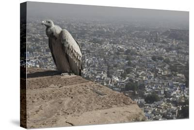 Long-Billed Vulture (Gyps Indicus)-Bernard Castelein-Stretched Canvas Print