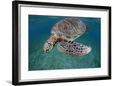Green Turtle (Chelonia Mydas) Akumal, Caribbean Sea, Mexico, January. Endangered Species-Claudio Contreras-Framed Photographic Print
