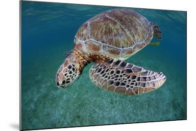 Green Turtle (Chelonia Mydas) Akumal, Caribbean Sea, Mexico, January. Endangered Species-Claudio Contreras-Mounted Photographic Print