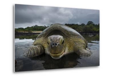 Green Turtle (Chelonia Mydas) Returning to Sea, Bissagos Islands, Guinea Bissau-Pedro Narra-Metal Print