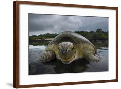 Green Turtle (Chelonia Mydas) Returning to Sea, Bissagos Islands, Guinea Bissau-Pedro Narra-Framed Photographic Print