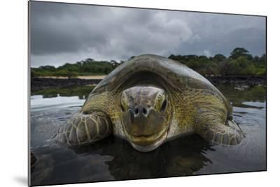 Green Turtle (Chelonia Mydas) Returning to Sea, Bissagos Islands, Guinea Bissau-Pedro Narra-Mounted Photographic Print