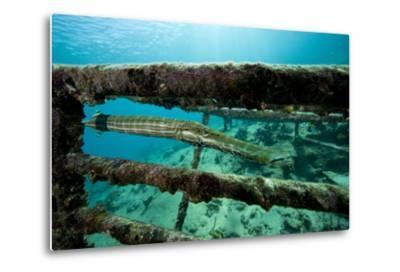 Trumpetfish (Aulostomus Maculatus) on Wreck-Franco Banfi-Metal Print