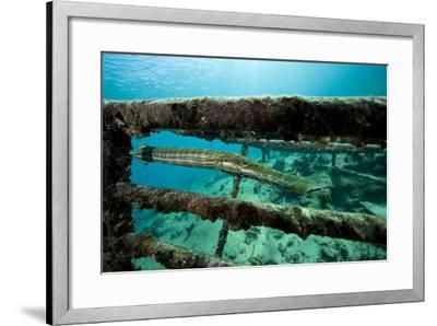 Trumpetfish (Aulostomus Maculatus) on Wreck-Franco Banfi-Framed Photographic Print