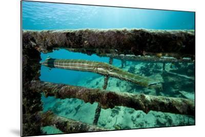 Trumpetfish (Aulostomus Maculatus) on Wreck-Franco Banfi-Mounted Photographic Print