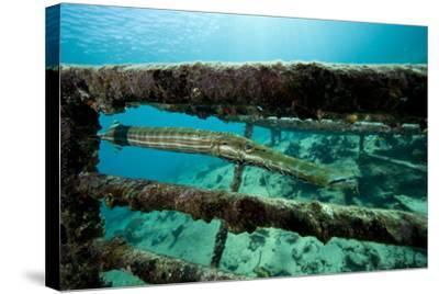 Trumpetfish (Aulostomus Maculatus) on Wreck-Franco Banfi-Stretched Canvas Print