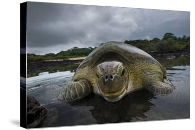 Green Turtle (Chelonia Mydas) Resting in the Shallows of the Coast, Bijagos Islands, Guinea Bissau-Pedro Narra-Stretched Canvas Print