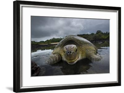 Green Turtle (Chelonia Mydas) Resting in the Shallows of the Coast, Bijagos Islands, Guinea Bissau-Pedro Narra-Framed Photographic Print