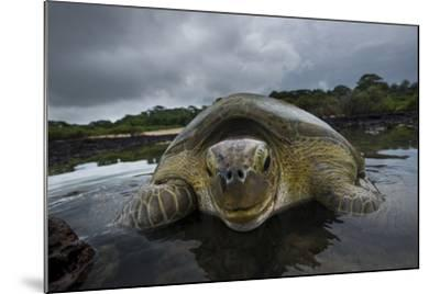 Green Turtle (Chelonia Mydas) Resting in the Shallows of the Coast, Bijagos Islands, Guinea Bissau-Pedro Narra-Mounted Photographic Print