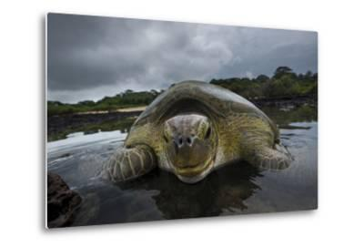 Green Turtle (Chelonia Mydas) Resting in the Shallows of the Coast, Bijagos Islands, Guinea Bissau-Pedro Narra-Metal Print