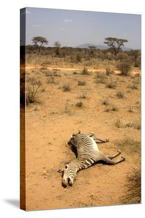 Dead Grevy's Zebra (Equus Grevyi) Most Likely the Result of the Worst Drought (2008-2009)-Lisa Hoffner-Stretched Canvas Print