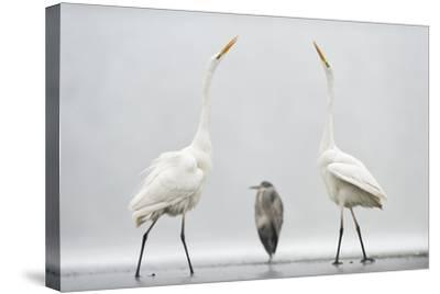Two Great Egrets (Ardea Alba) Standing Opposite Each Other with Grey Heron (Ardea Cinerea)-Bence Mate-Stretched Canvas Print