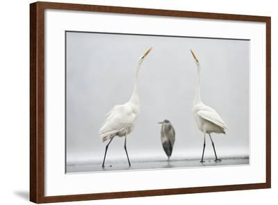 Two Great Egrets (Ardea Alba) Standing Opposite Each Other with Grey Heron (Ardea Cinerea)-Bence Mate-Framed Photographic Print