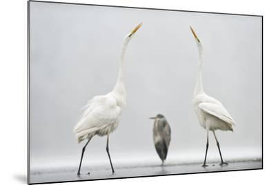 Two Great Egrets (Ardea Alba) Standing Opposite Each Other with Grey Heron (Ardea Cinerea)-Bence Mate-Mounted Photographic Print