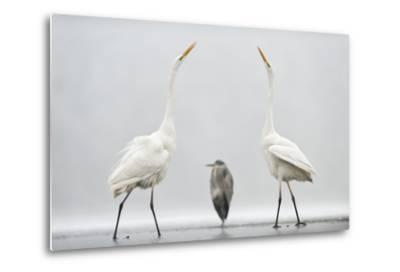 Two Great Egrets (Ardea Alba) Standing Opposite Each Other with Grey Heron (Ardea Cinerea)-Bence Mate-Metal Print