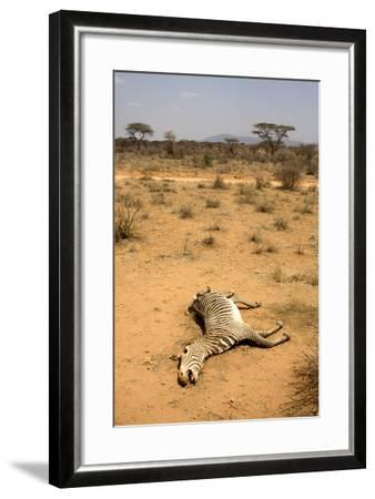 Dead Grevy's Zebra (Equus Grevyi) Most Likely the Result of the Worst Drought (2008-2009)-Lisa Hoffner-Framed Photographic Print