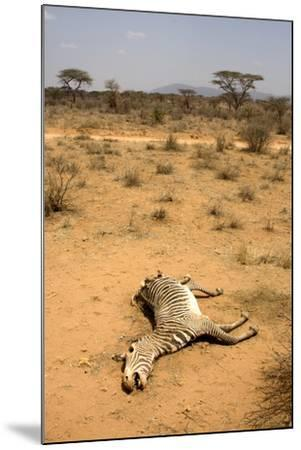 Dead Grevy's Zebra (Equus Grevyi) Most Likely the Result of the Worst Drought (2008-2009)-Lisa Hoffner-Mounted Photographic Print