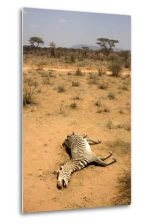 Dead Grevy's Zebra (Equus Grevyi) Most Likely the Result of the Worst Drought (2008-2009)-Lisa Hoffner-Metal Print