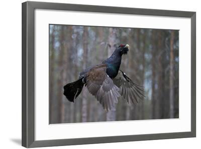Male Capercaillie (Tetrao Urogallus) Flying, Jalasjarvi, Finland, April-Markus Varesvuo-Framed Photographic Print