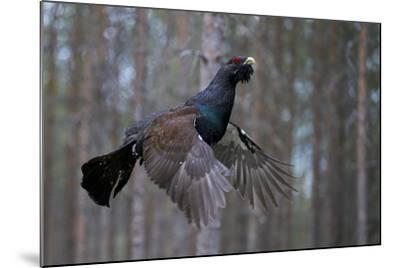 Male Capercaillie (Tetrao Urogallus) Flying, Jalasjarvi, Finland, April-Markus Varesvuo-Mounted Photographic Print