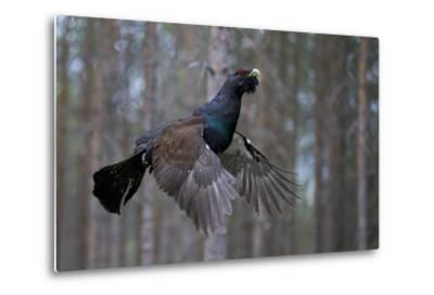 Male Capercaillie (Tetrao Urogallus) Flying, Jalasjarvi, Finland, April-Markus Varesvuo-Metal Print