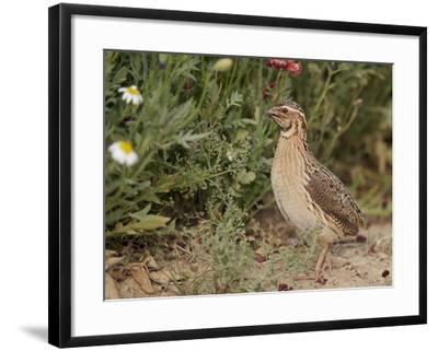 Male Common Quail (Coturnix Coturnix) Calling, Spain, May-Markus Varesvuo-Framed Photographic Print