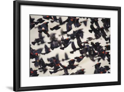 Red-Winged Blackbirds (Agelaius Phoeniceus) in Flight-Gerrit Vyn-Framed Photographic Print