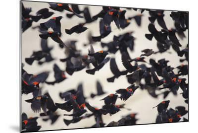 Red-Winged Blackbirds (Agelaius Phoeniceus) in Flight-Gerrit Vyn-Mounted Photographic Print