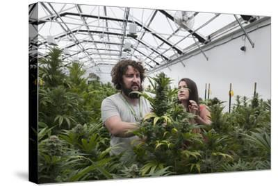 Man and Woman with Cannabis Plant in Organic Marijuana Farm, Pueblo, Colorado, USA, June 2015-Jeff Rotman-Stretched Canvas Print