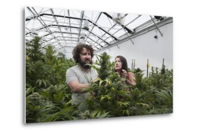Man and Woman with Cannabis Plant in Organic Marijuana Farm, Pueblo, Colorado, USA, June 2015-Jeff Rotman-Metal Print